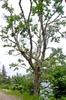 Acer spicatum tree