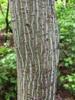 Acer tegmentosum Bark