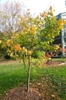 Acer tegmentosum tree