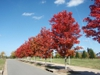'Autumn Blaze' - tree row with fall color
