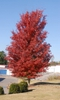 Acer x freemanii 'Autumn Blaze' - full tree fall color