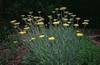 Achillea millefolium hybrids, full