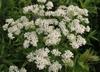 Achillea millefolium white flower