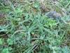 Achillea tometosa