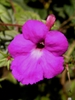 Achimenes flower