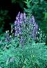 Aconitum spp.