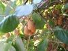 Actinidia chinensis