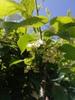Actinidia kolomikta flowers