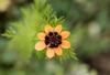 Adonis aestivalis flower and leaves