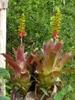 A. angustifolia form