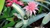 A. fasciata 'Varigata' plant
