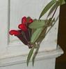 Aeschynanthus radicans