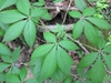 Palmately compound leaves.