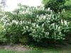 Aesculus parvaflora