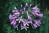 Agapanthus orientalis (A. praecox ssp. orientalis)