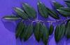 Agarista populifolia leaves