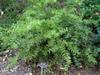 Agarista populifolia 'Tyler's Treasure'