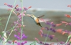 Agastache Rupestris with Female Broad-tailed Hummingbird closer