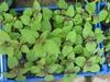 Agastache rugosa seedling