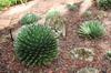 Agave victoriae-reginae in the landscape