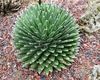 Queen Victoria's agave form