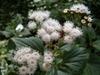 A. adenophora flowers