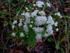 A. altissima flowers