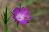 Agrostemma githago flower