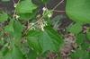 Alangium chinense