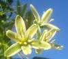 Albuca flower