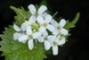 White flowers (Cocke County, TN)-Mid Spring