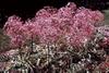 Allium christophii (A. albopilosum) full