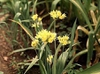 Photo of Allium moly (A. luteum)