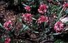 Allium oreophilum (A. ostrowskianum)
