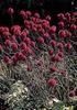 Allium sphaerocephalon full