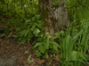 Ramp and Foam Flower (Tiarella cordifolia) woodland setting.