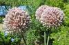 Leeks blooming