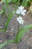 Allium neapolitanum Allium cowanii Leaf