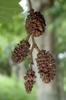 Alnus hirsuta pinecones