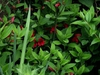 Alstroemeria hybrids