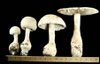 Photo of Amanita chlorinosma