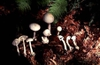 Amanita virosa/Amanita bisporigera, multiple