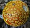 Amanita flavoconia