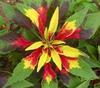 Amaranthus tricolor 'Perfecta'