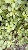 Amaranthus blitum habit