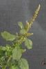 Amaranthus blitum L.