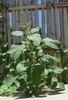 Amaranthus lividus form