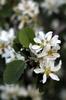 Amelanchier alnifolia flowers.