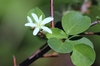Amelanchier alnifolia close up of flower and leaves.