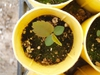 Amelanchier alnifolia